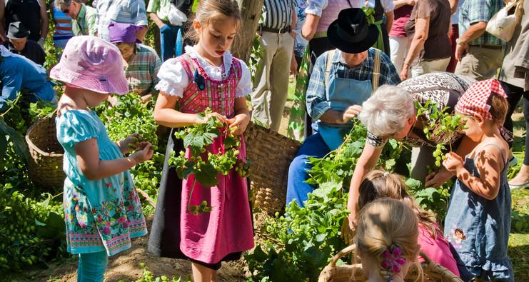 Traditionelles Hopfenzupfen mit der Hand auf einem Hopfenzupferfest in der Hallertau